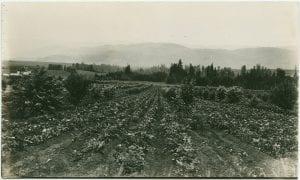 Crops of potatoes