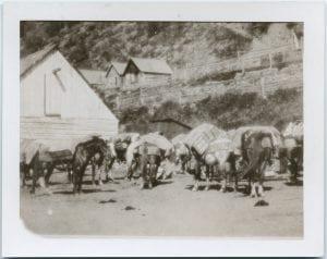 Pack animals at Telegraph Creek